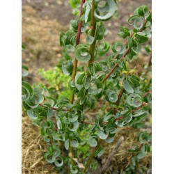 Salix babylonica  'Crispa' - Saule crépu, saule de Napoléon