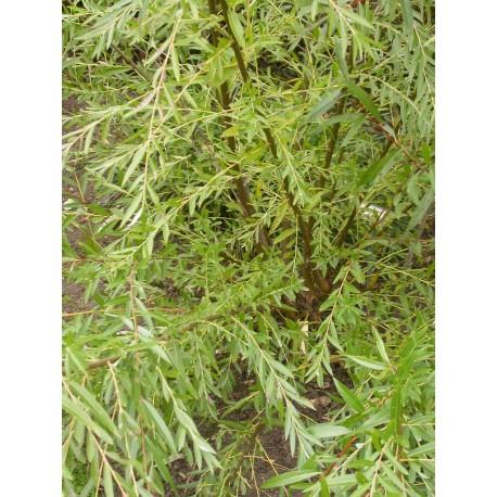 Salix babylonica  'Ratakaka' - saule pleureur