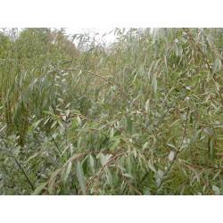 Salix babylonica 'Sacramento' - Saule pleureur