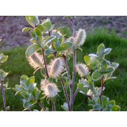 Salix balfouri x - saule de balfour