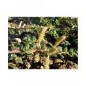 Salix bockii - Saule à feuille de myrte chinois