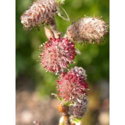 Salix brevipens - Saule