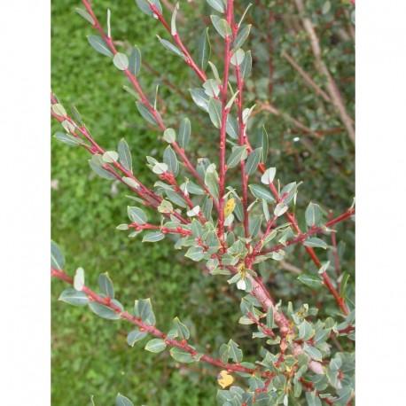 Salix caesia - Saule bleuté