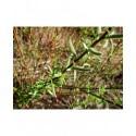 Salix calliantha x - saule
