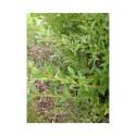 Salix cantabrica - Saule des Cantabriques