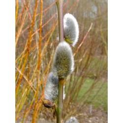 Salix caprea 'Atlas' - Saule marsault
