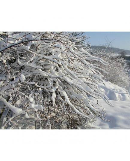 Salix caprea 'Curly Locks' - Saule tortueux pleureur