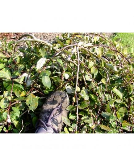 Salix caprea 'Repens' - Saule marsault rampant