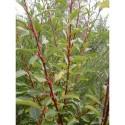 Salix caprea 'Silberglanz' - Saule marsault