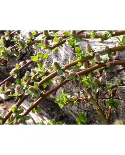 Salix cashmiriana - Saule du Cachemire
