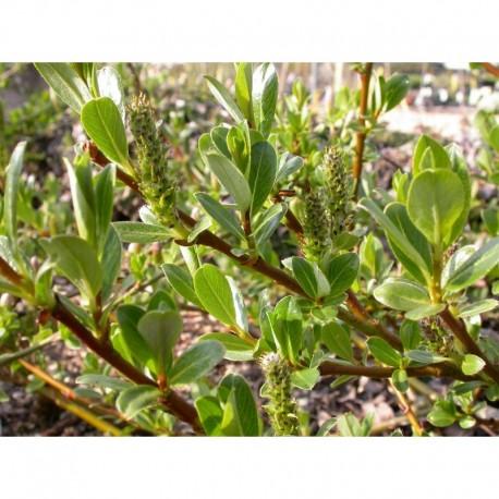 Salix cepusiensis x -  Saule