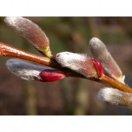Salix chaenomeloides 'Akame' - Saule à chaton géant
