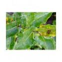 Salix chlorophana x - Saule