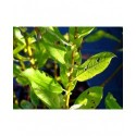 Salix cinerea 'Nordia' - Saule cendré doré
