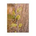 Salix cinerea 'Olive razetti' - Saule cendré