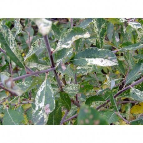 Salix cinerea 'Tricolor' - Saule panaché