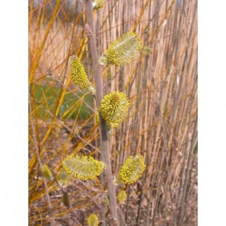 Salix cinerea - Saule cendré