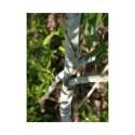 Salix daphnoides 'Bois jaune' - Saule faux daphné