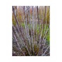 Salix daphnoides 'Pulchra Ruberrima' - Saule
