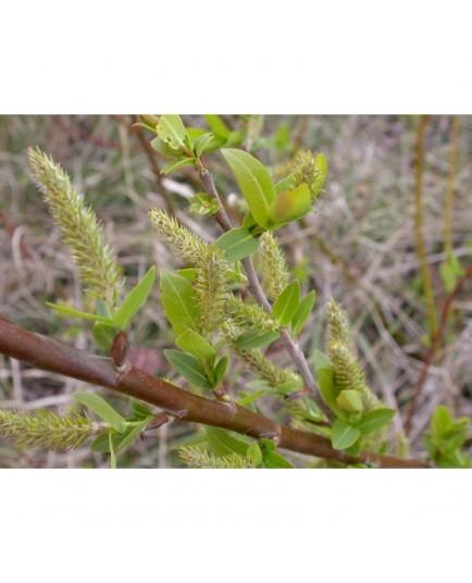 Salix daphnoides - Saule faux daphné