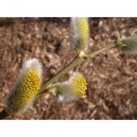 Salix dasyclados x 'Angustifolia' - Saule