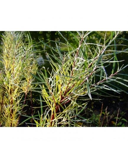 Salix elaeagnos subsp. angustifolia - Saule à feuille de romarin