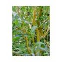 Salix erythroflexuosa x - Saule tortueux