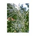 Salix exigua - Saule des coyotes