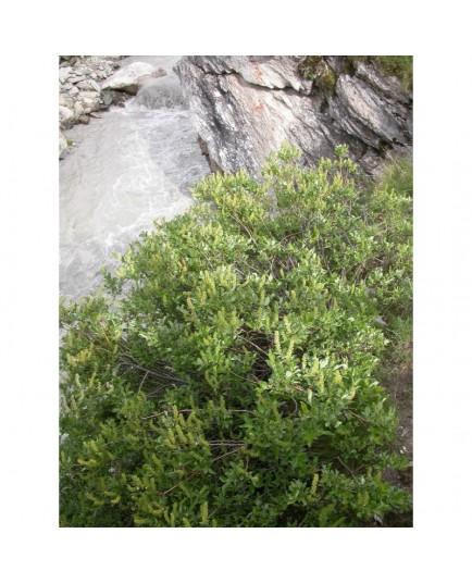 Salix foetida - Saule fétide