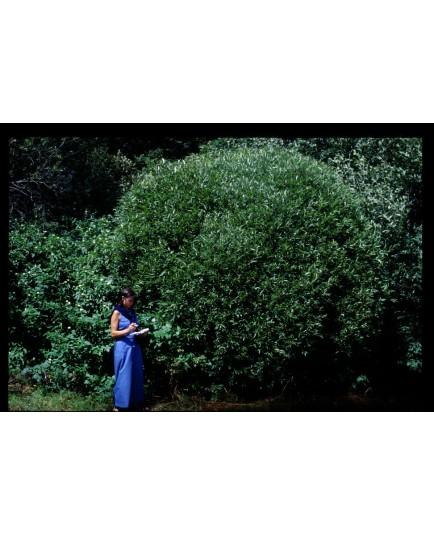 Salix fragilis var bullata - Saule boule