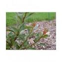 Salix glabra - Saule glabre