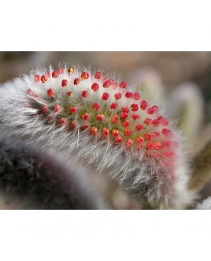 Salix gracilistyla - Saule à chaton japonais