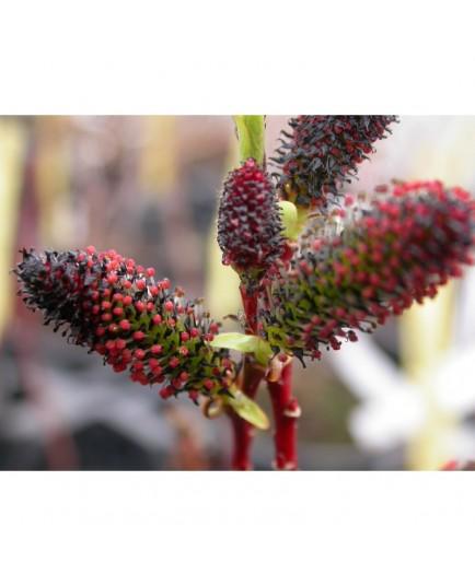 Salix gracilistyla var melanostachys - Saule à chaton rouge et noir