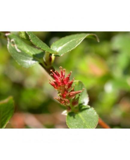 Salix grahamii x - Saule de Graham