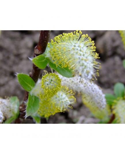 Salix hastata 'Wehrhanii' - Saule hasté