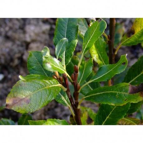 Salix hastata var vitosa - saule hasté