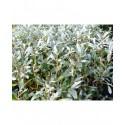 Salix helvetica - Saule de Suisse