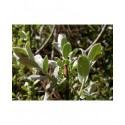 Salix humilis var microphylla - saule des prairies