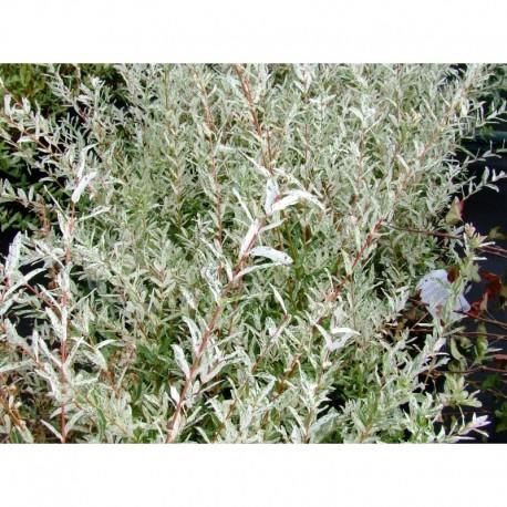 Maladie saule crevette floraison du saule crevette with maladie saule crevette affordable le - Tailler un saule crevette ...