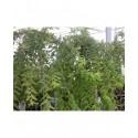Salix integra 'Pendula'- saule japonais pleureur