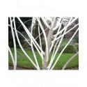 Salix irrorata - Saule à rameaux bleux