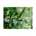 Salix kuznetzowii - saule