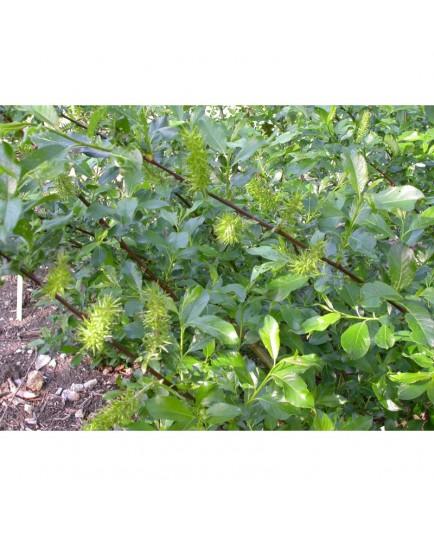 Salix laggeri - saule blanchâtre