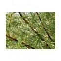 Salix lapponum x schwerinii