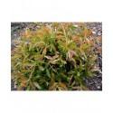 Salix longipes - Saule