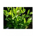 Salix lucida - saule luisant