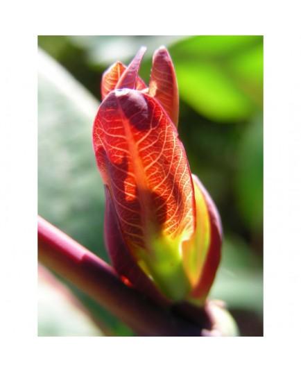 Salix magnifica - Saule magnifique