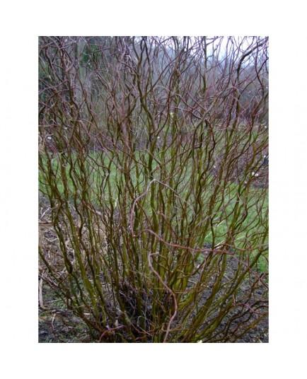 Salix matsudana 'Bijdorp' - Saule tortueux