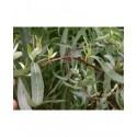 Salix matsudana 'Koten' - Saule tortueux