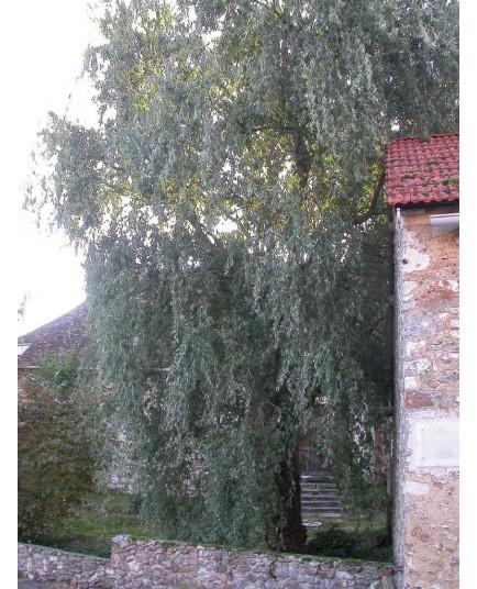 Salix matsudana 'Tortuosa' - Saule tortueux